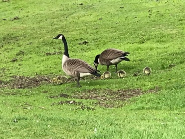 Canada Geese and Gosling - new ashram members